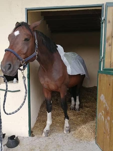 Application d'un enveloppement sur un cheval chez Ékinétik